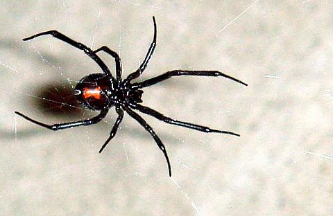 انواع عنکبوت